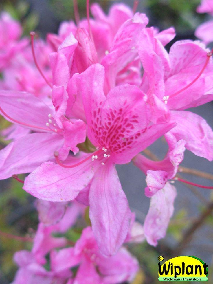 Rhododendron L. 'Lilac Lights', Northern Light atzalea. Höjd: 1 m.