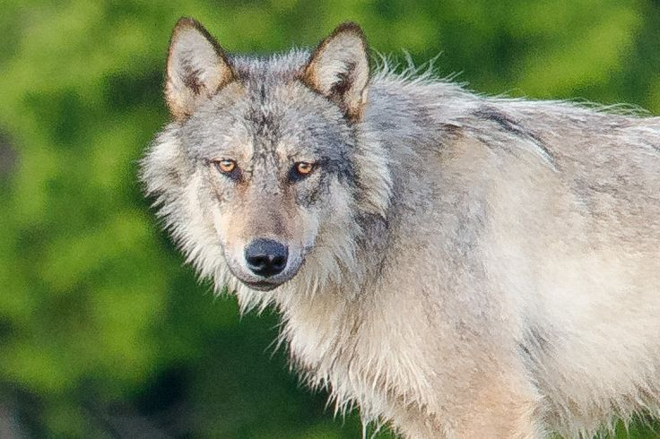 Unlike its interior cousins, gray wolves of Vancouver Island live with two paws in the ocean and two paws on land.