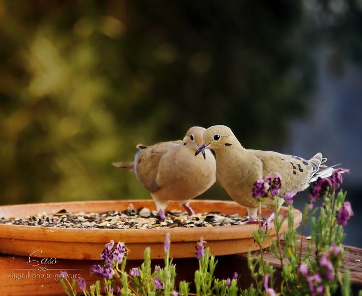 Photograph Lavender Doves by Cass Peterson Greene on 500px