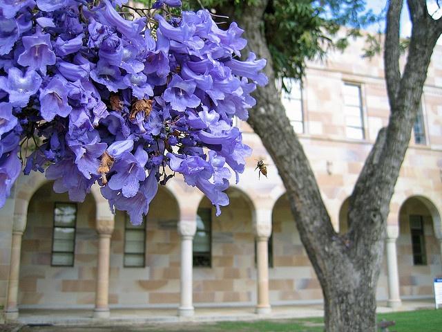 Jacaranda, University of Queensland by stephenk1977, via Flickr