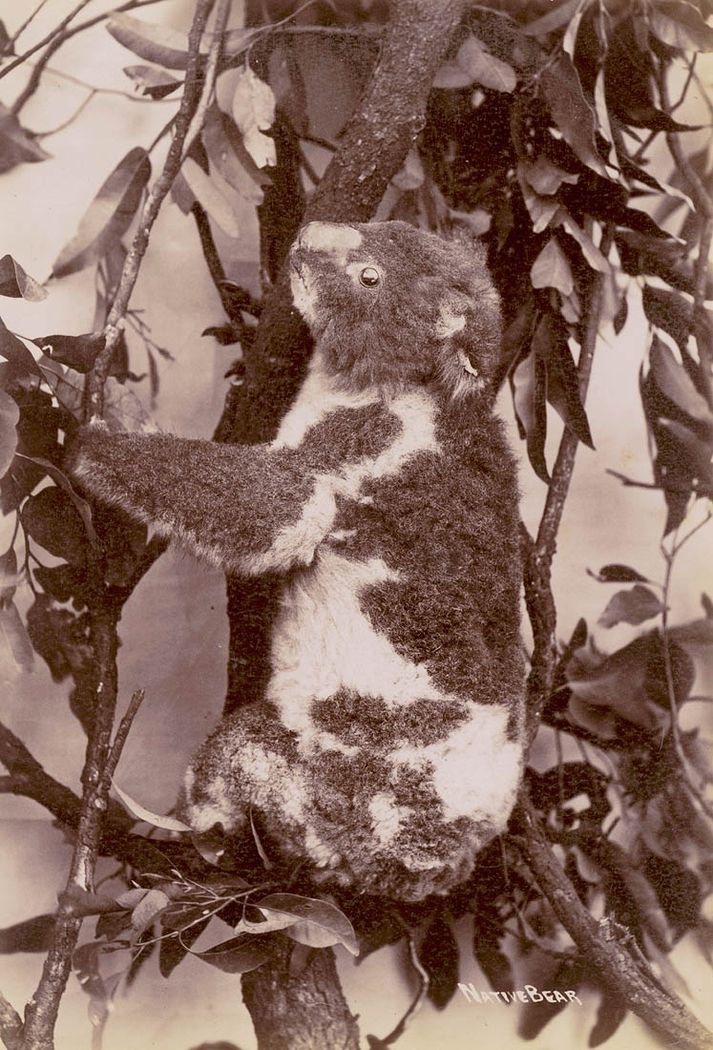 This photograph of a koala, produced by the Star Photo Co. in the first decade of the 1900s, is captioned 'Native bear'. From the collections of the Mitchell Library, State Library of New South Wales: http://www.acmssearch.sl.nsw.gov.au/search/itemDetailPaged.cgi?itemID=414007