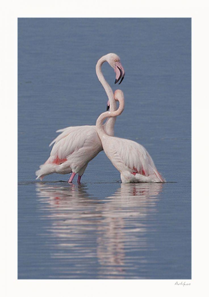 Vassilis Artikos Photography - ............BR1001.............. flamingos-Greece-Messolonghi