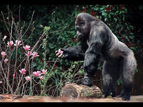 Ivan the gorilla lived alone in a shopping mall for over 20 years (The Urban Gorilla) - YouTube
