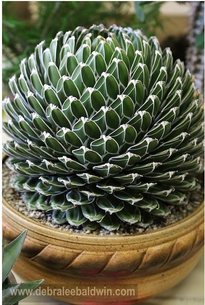 Agave victoriae-reginae, named after England's Queen Victoria.
