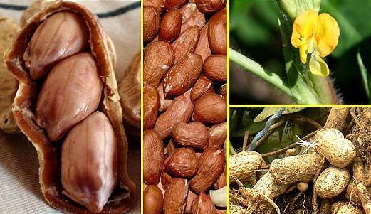 Выращивание арахиса самостоятельно: правила посева, ухода, сбора урожая