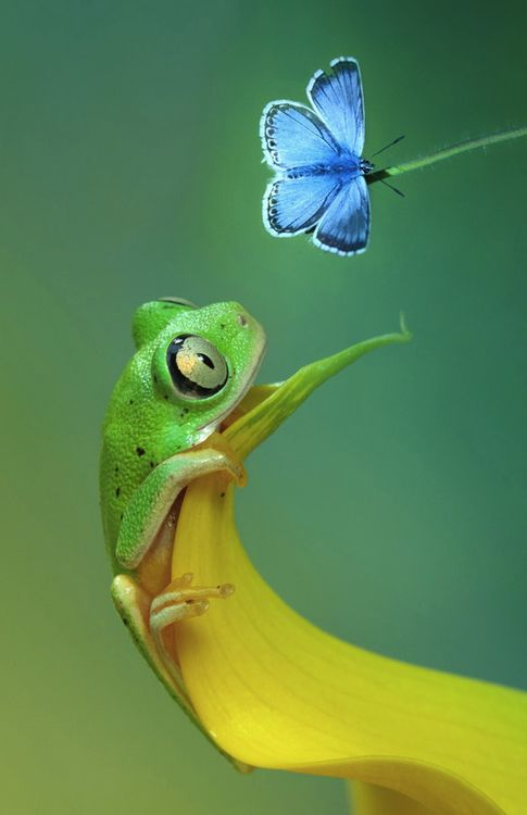 "awkwardsituationist: "" tree frog and chalkhill blue butterfy, photo wil mijer """