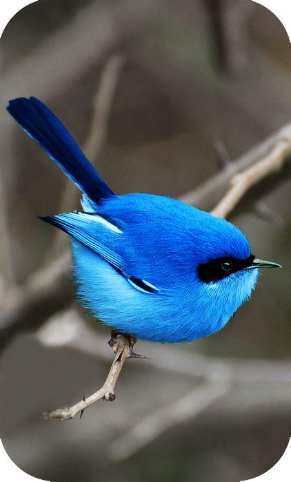 The Blue Fairy Wren of Australia.    Chcesz zobaczyć to na żywo? Na www.australia.info.pl znajdziesz aktualne oferty wyjazdów, a także zarezerwujesz hotel, willę lub bilety lotnicze.