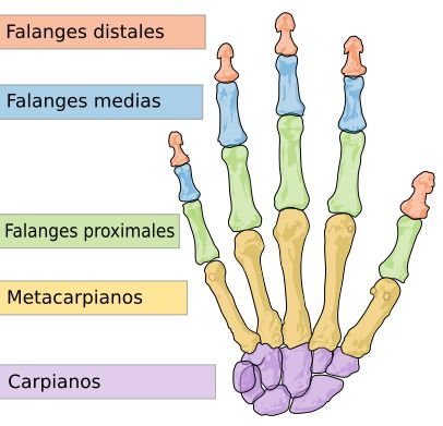 Medical Spanish Terminology  | human hand bones Spanish