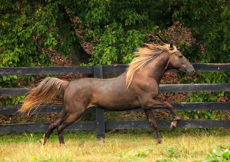 The Rocky Mountain Horse    One of the most colorful breeds in the world! Here is a prime example.. A Silver Bay Stallion!