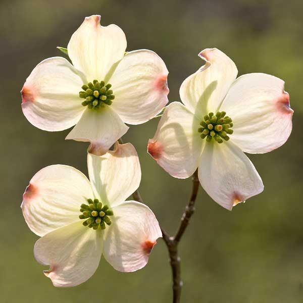 Dogwood tree, a cross and the blood of Christ on the flower. I was told this as a child.