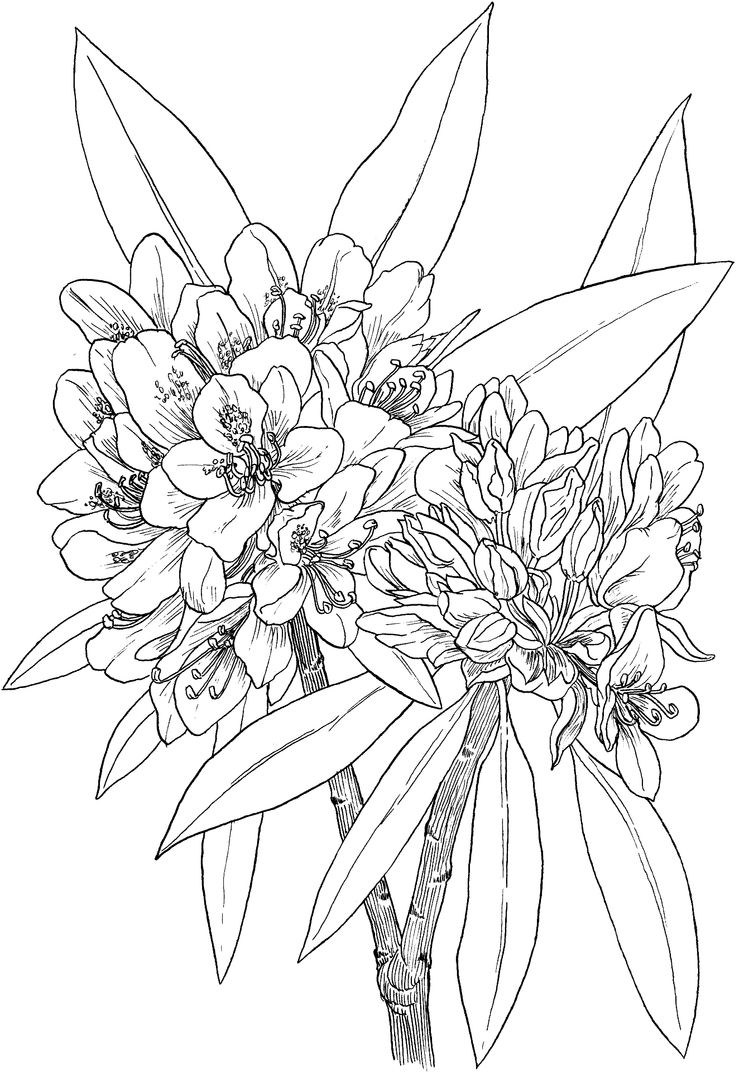 Water lily flower coloring pages - Wild Rhododendron