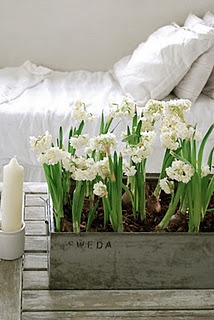 simple beauty I love paperwhites and they look great in zinc container
