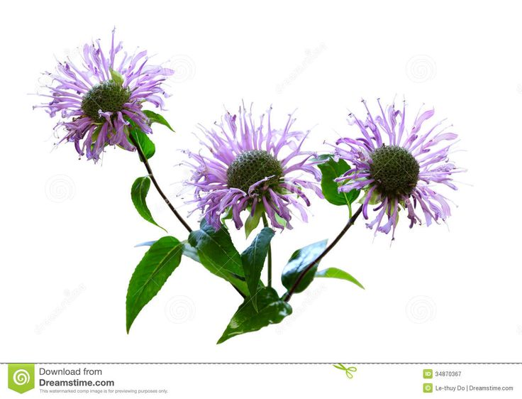 bergamot flower - Google Search