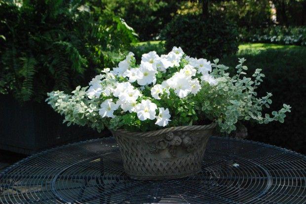 Perfectly-happy-petunias. Deck-garden - Detroit Garden Works via Dirt Simple Blog. Deborah Silver
