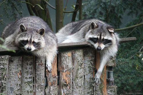 raccoons - wasberen | Flickr - Photo Sharing!