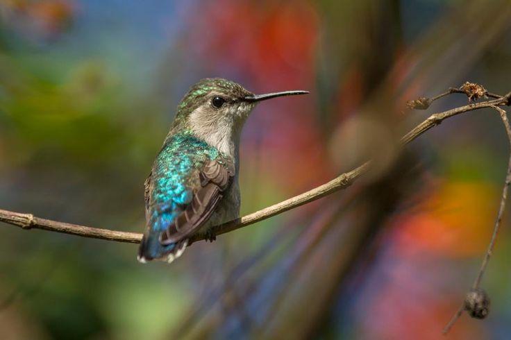 Bee Hummingbird (Mellisuga helenae) videos, photos and sound recordings   the Internet Bird Collection   HBW Alive