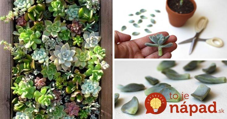 Z jednej rastlinky 10 nových: Najjednoduchší spôsob, ako rozmnožiť sukulent