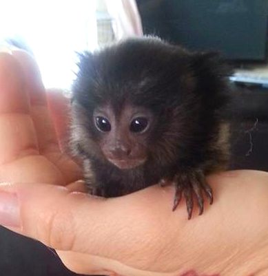 Pygmy Marmoset Monkeys for Sale | 3a7267_7500f1061c71d8f312bbf4a6ea1eb680.png