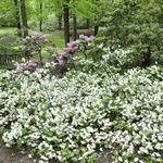 Azalea 'Helen Curtis'(Shammarello Hybrid) - Hess Landscape Nursery - Finleyville, Pennsylvania