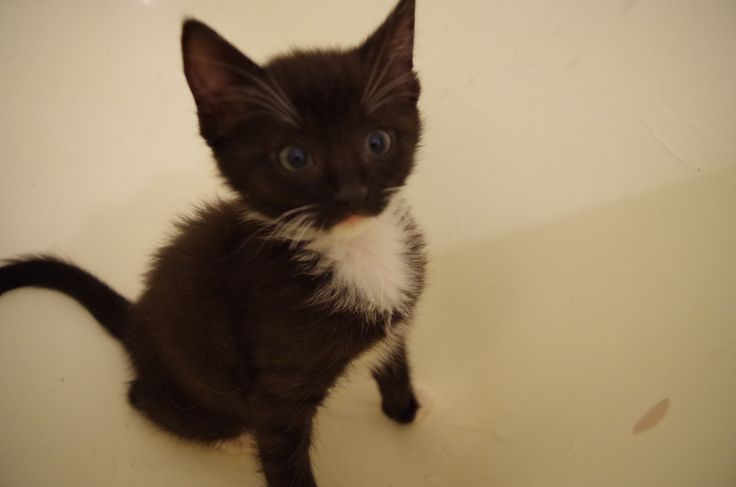 Vivian - the only short-haired cat in the litter.  Born Sept. 10 Available for adoption mid-December