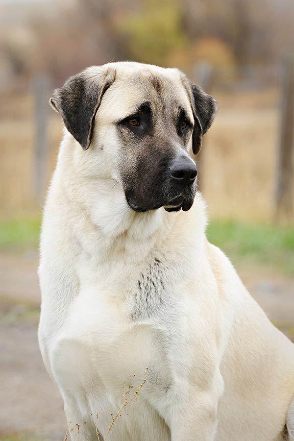 The Anatolian Shepherd Dog: Fearless Livestock Guardian and Lifesaver –  American Kennel Club   Anatolian shepherd dog, Big dog breeds, Large dog  breeds