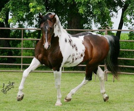 "SS Painted Intimidator the Saddlebred - This Color of Fame son is an extremely loud pinto American Saddlebred. Those speckles on his side are the telltale ""pawprints"" of a horse homozygous for Tobiano. ""Ernie"" has foals that are winning in categories including Halter and Western Pleasure."