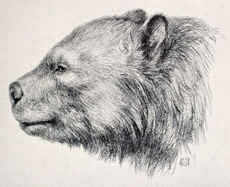 Oso de cara corta. The fossils include mastodons (Mammut americanum), an Arctotherium (short-faced bear, shown), a giant beaver (Castoroides), and an American lion (Panthera leo atrox). Geist dated the fossils to about 48,000 BC.