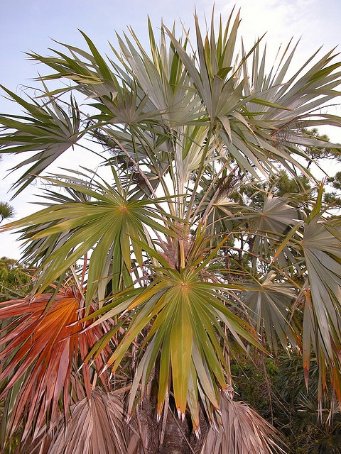 Key Thatch Palm Leucothrinax Morrisii Greater And