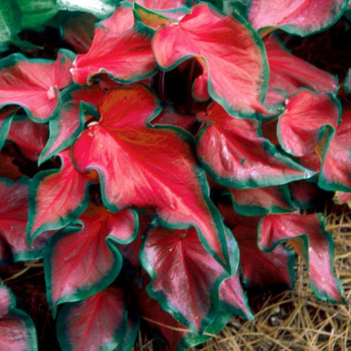 GenusCaladium  Variety'Red Ruffles'  Zone8 - 10  HabitCompact  Plant Height: 12 in - 14 in  Plant Width: 12 in  Additional Characteristics: Indoor Growing,Variegated  Foliage Color: Medium green, red, variegated.  Light Requirements: Part shade/shade  Soil Tolerance: Normal, loamy