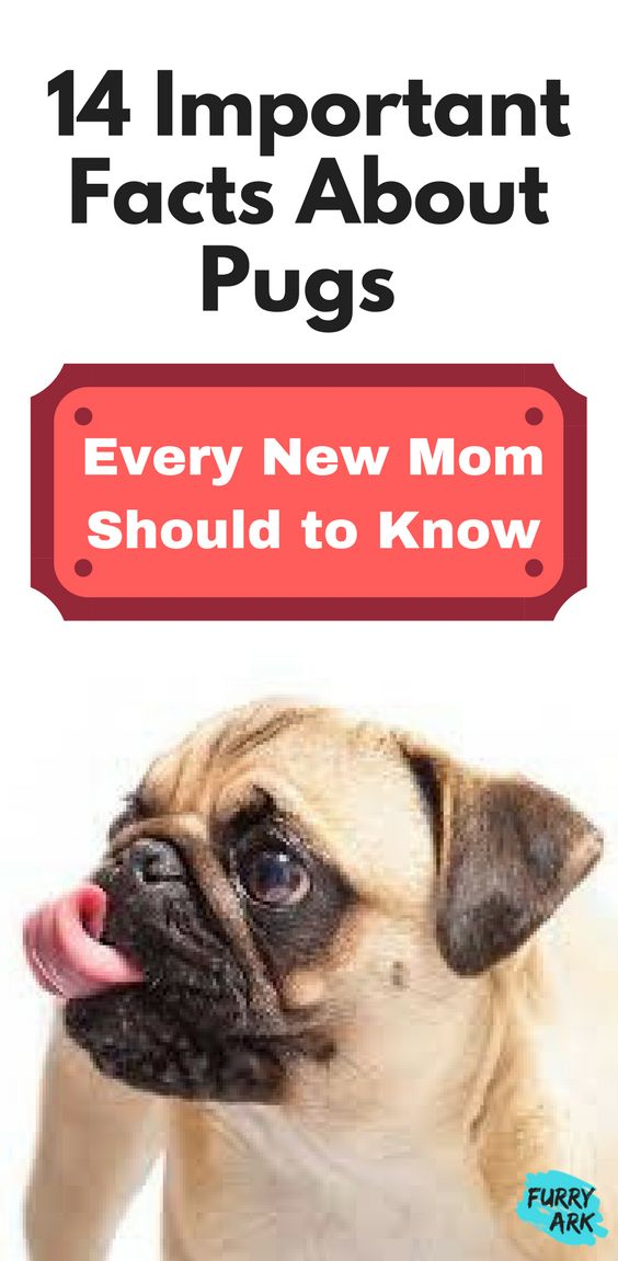 14 Important Facts about Pugs Every New Mom Should to Know | pug facts | pug care