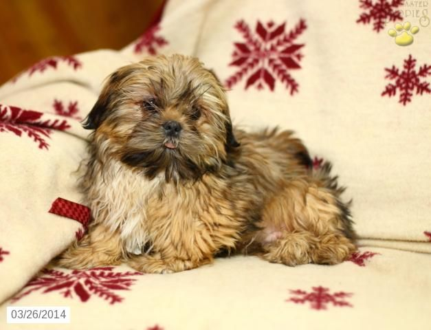 shih tzu puppies in pa 28 best images about shih tzu on pinterest long johns 4296