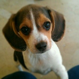 Penny Kandy's Mona Lisa - our ridiculously cute Olde English Pocket Beagle puppy who was born minus her right front leg.