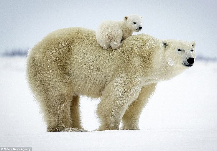 David Jenkins has spent 10 years documenting the bond between mother #polarbears and their newborn cubs. So heartwarming!