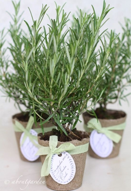 Rosemary in little pots makes a charming small gifts or favors.
