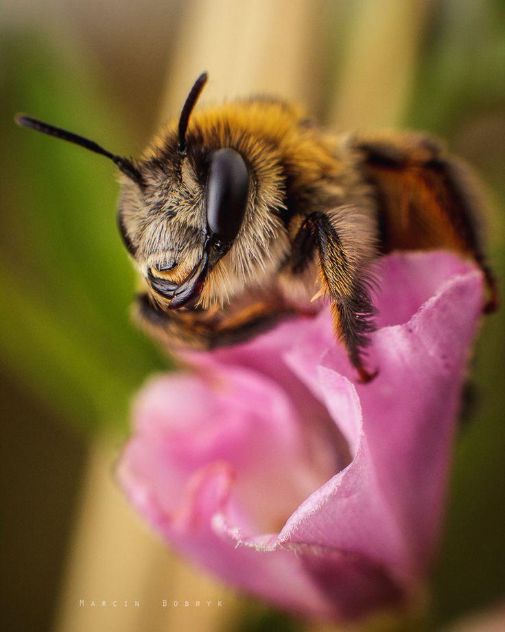 """Pszczółka odpoczywająca na kwiatku / """"Relax!"""" - Pszczoły też lubią odpoczywać. Czasami można je przyłapać wymęczone pracą. Czasami w ten sposób przeczekują deszcz."""
