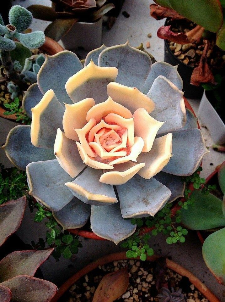 Echeveria. I just got one of these!!! Beautiful :)