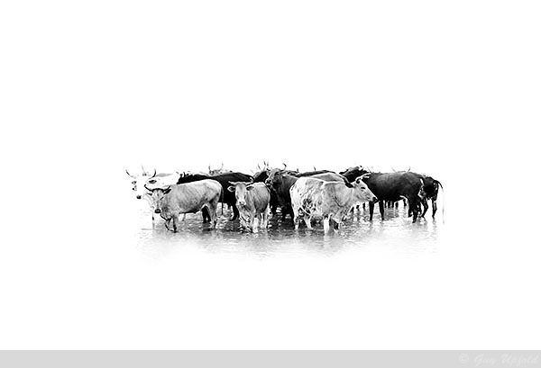 Nguni Cattle abstract 4