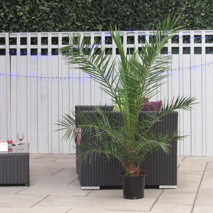 Large Palm Tree Phoenix Canariensis (Date Palm) - 5ft Indoor or Outdoor Palm  #trees #olivetrees #houseplants #palmtrees #baytree #gardendesign #wetmyplants #baytreewedding #indoorplants