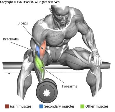 BICEPS -  CONCENTRATION DUMBLLE CURL