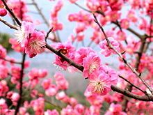 Great small tree! - 'Prunus mume' (Japanese ornamental flowering apricot) ... in white/pink/red colors - best in dupe/non-fruiting varieties... usually blooms in late winter/early spring (best range Zone 6-8, can be hard to find or only available from limited mail order sources).
