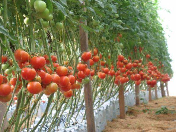 cultivo tomate cherry sistema hidropnico google search