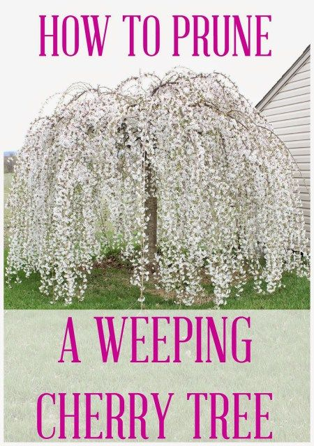 How to Prune a Weeping Cherry Tree - Hymns and Verses