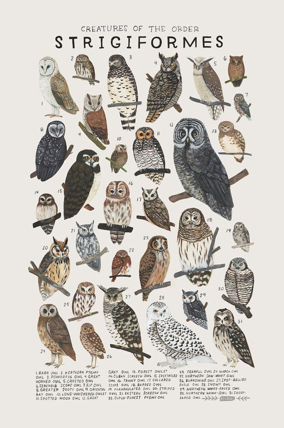 Creatures of the order Strigiformes, 2016. Art print of an illustration by Kelsey Oseid. This poster chronicles 31 amazing owls from the taxonomic order Strigiformes.   Print measures 12x18 inches. Printed in Minneapolis on acid free 80# Mohawk Superfine cover.  Packaged rolled with kraft tissue in a protective tube.