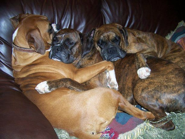 One great dad.: Boxers Snuggles, Boxers Baby, Boxers Dogs, Boxers Love, Snuggles Boxers, Baby Dogs, Boxers Snugglelubbin, Boxers Cuddlefest, Adorable Animal
