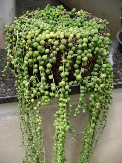 senecio rowleyanus suculentas cactos pinterest perles tags et rang de perles. Black Bedroom Furniture Sets. Home Design Ideas