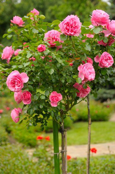 Come potare le rose - Cura delle Rose - Cura delle Piante Ornamentali - Cura delle Piante - Cura del Giardino - Bayer Garden