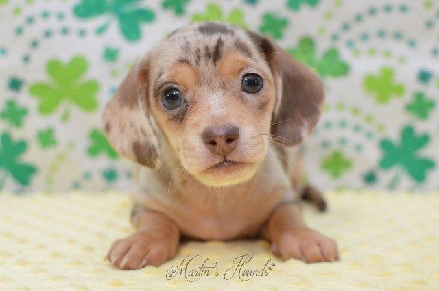 Martin S Hounds Dachshund Breeders Dog Breeder Hound