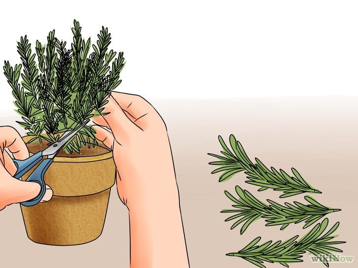 Titel afbeelding Grow Rosemary Step 1