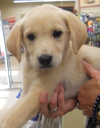 Diva has been adopted! Diva is an adoptable Yellow Labrador Retriever Dog in Killian, LA. Meet Diva...an 8 week old female Golden Lab mix puppy. This sweet little girl is the last of her litter waiting for a forever home. S...
