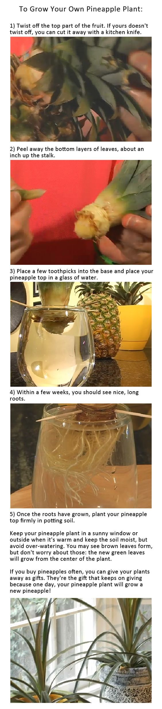This shows how to grow your own pineapple plant from the top of one you already have. I would love to see if this works.